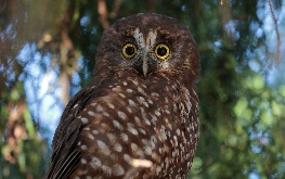 nz owl sits in a tree at birds of prey centre